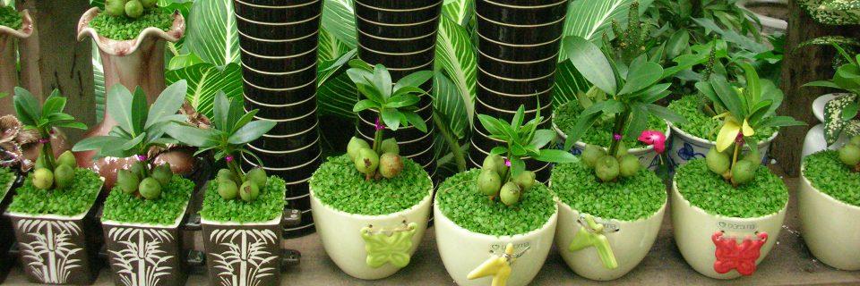 Chuyên cung cấp và cho thuê các loại cây cảnh