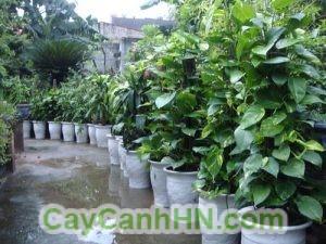 Kỹ thuật trồng cây vạn niên thanh leo cột