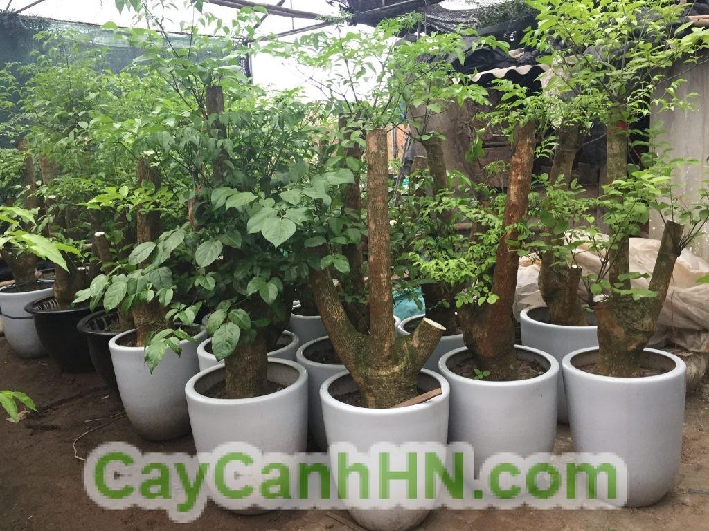 cay-hanh-phuc-1024x768 Cây Hạnh Phúc Ý Nghĩa Phong Thủy Và Hướng Dẫn Chăm Sóc Cây