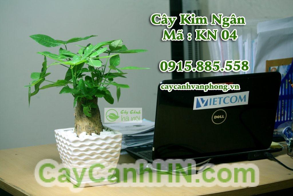 cay-kim-ngan-1024x683 CÂY KIM NGÂN ĐẸP-PHONG THỦY VÀ HƯỚNG DẪN CHĂM SÓC CÂY KIM NGÂN