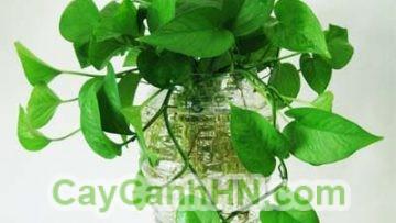 Cay-van-nien-thanh-leo-cot-1jpg- Front Page